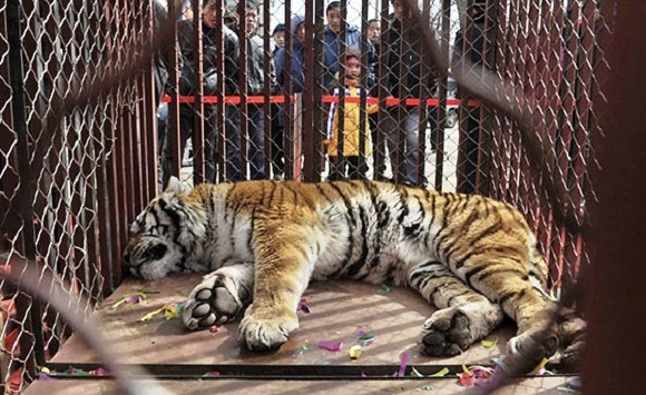 how tigers humans and animots is